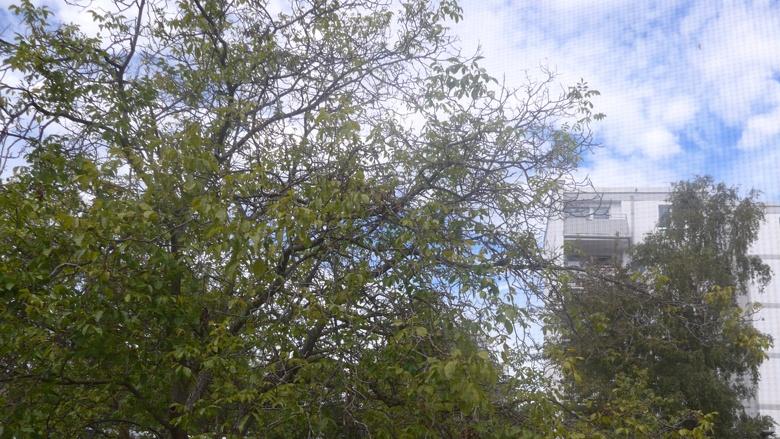 """Dieser Walnussbaum hat eine """"Kronenverlichtung"""" und ist gefährdet. Foto Jo Schlösser."""
