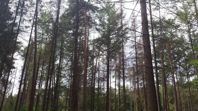 Große Fichtenanteile in unseren Wäldern sind vernichtet, auch die Laubbäume leiden unter der Trockenheit. Foto: Jo Schlösser.